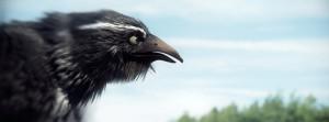 Rolli_Crow_001